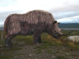 la evolución del rinoceronte es el rinoceronte lanudo