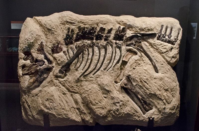 fosil montanoceratops