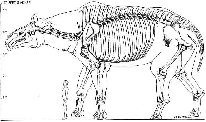 Descripción acerca del Paraceratherium