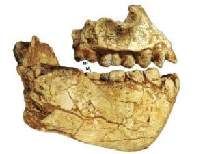 mandibula del australopithecus deyiremeda