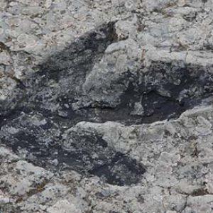 huella fosilizada de dinosaurio