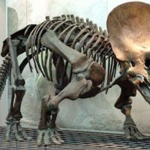 fosil de triceratops