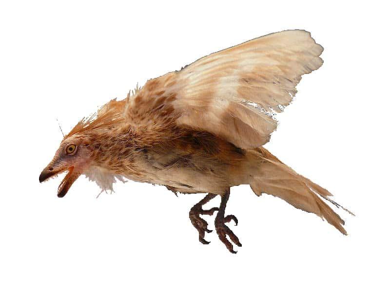 Iberomesornis - ave prehistorica